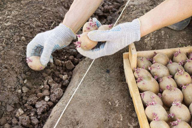 Благоприятные дни для посадки картофеля в 2020 году