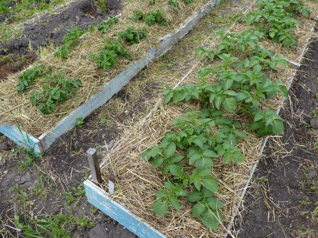 посадки картофеля,..