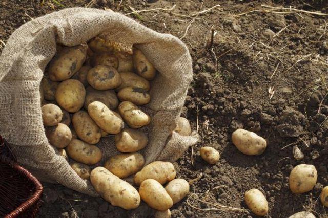 посадки картофеля,...