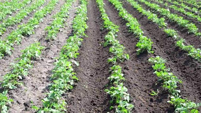 посадки картофеля.,.