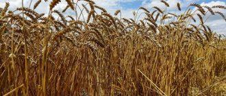 Благоприятные дни для посева яровой пшеницы в 2020 году