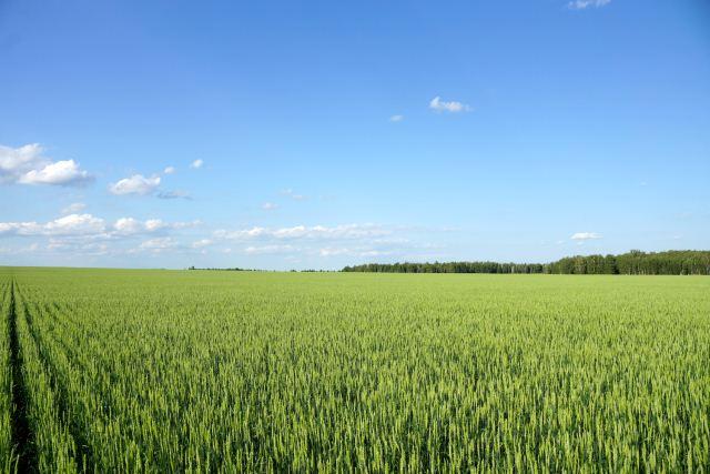 пшеница яровая.