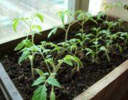 Когда сажать рассаду помидоров на Урале