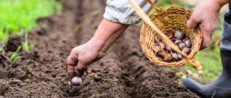 Благоприятные дни для посадки чеснока весной в 2020 году