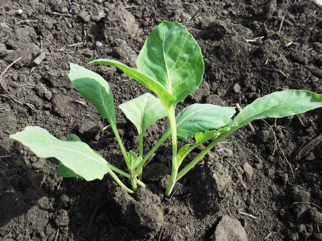 Когда сажать рассаду капусты на Урале