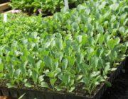 Когда сажать рассаду капусты в Подмосковье