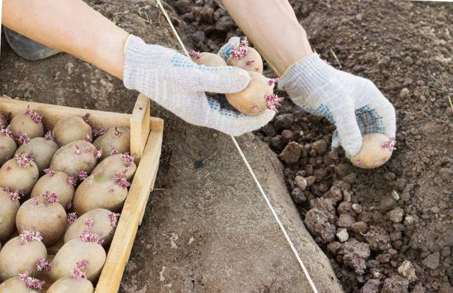 Когда сажать картофель на Урале