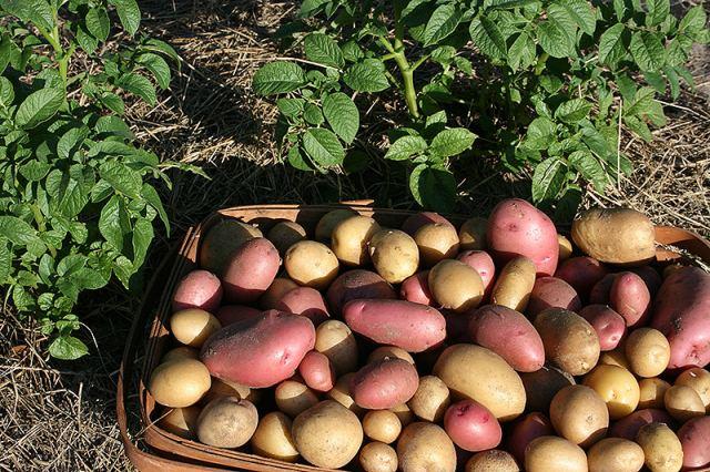 посадка-картофеля-урал,..