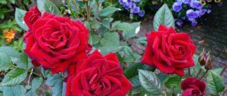Когда сажать розы в Подмосковье