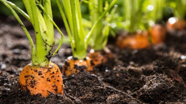 посев-моркови....