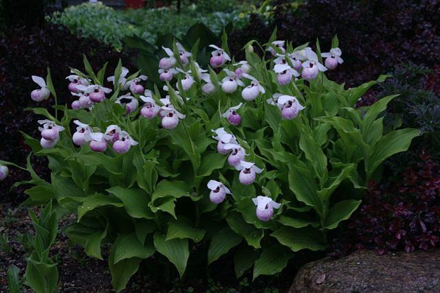 садовые-орхидеи