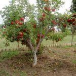 Когда сажать яблони в Подмосковье (весной, осенью)