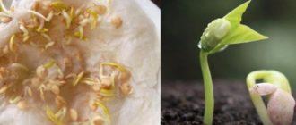Подготовка семян баклажан к посеву на рассаду
