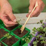 Когда пикировать рассаду капусты