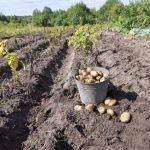 Когда сажать картофель в Сибири