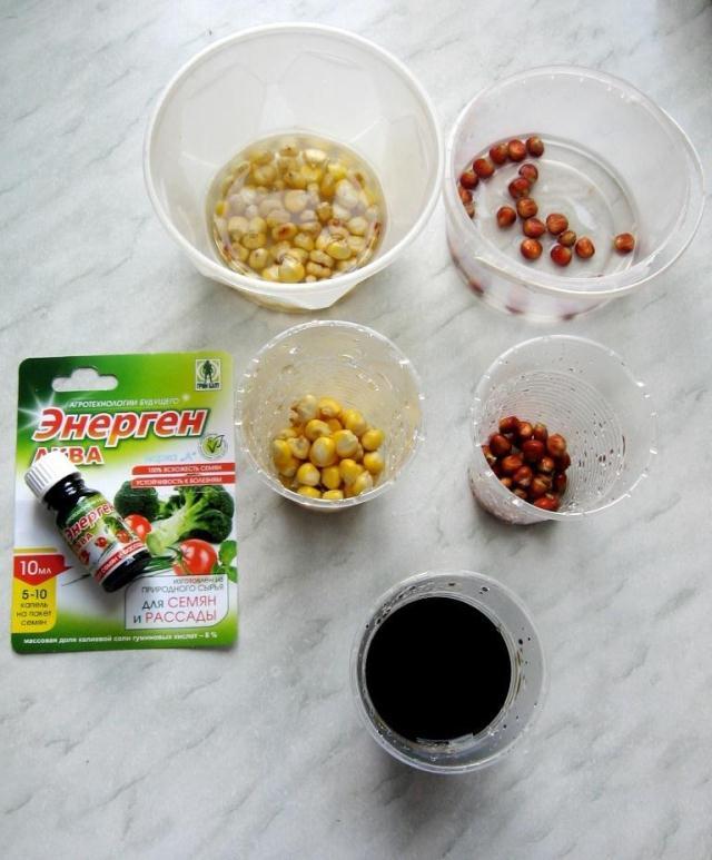 Подготовка семян кукурузы к посеву