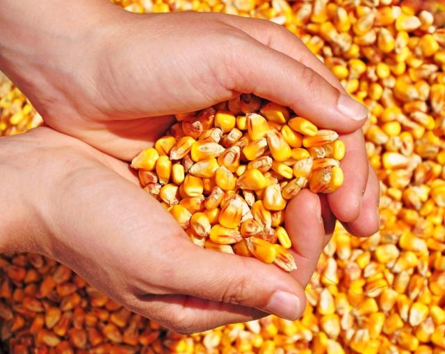 кукуруза,,