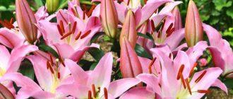 Когда сажать лилии в Подмосковье (весной, осенью)