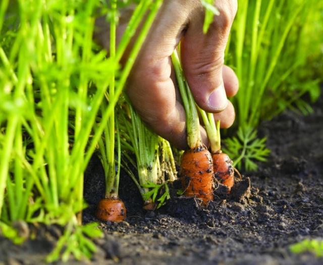 Когда сажать морковь в Подмосковье