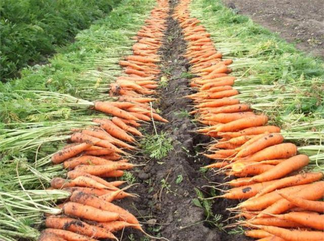 морковь-Урал,.