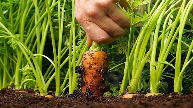 морковь,