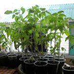 Рассада помидоров вытянулась: что делать, почему, как исправить