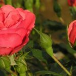 Когда сажать розы на Урале (весной, осенью)