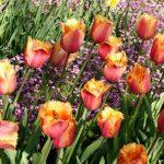 Когда сажать тюльпаны Подмосковье