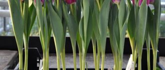 Когда сажать тюльпаны к 8 марта в домашних условиях