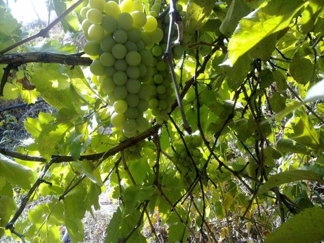 виноград,,