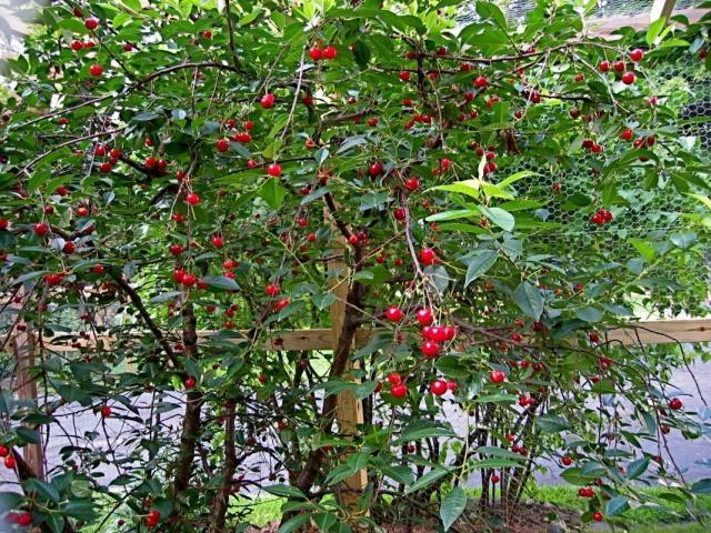 Когда сажать вишни в Подмосковье (весной, осенью)