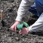 Когда высаживать рассаду баклажанов в открытый грунт