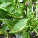 Почему скручиваются листья у рассады перца: что делать