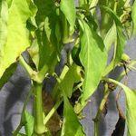 Почему у рассады перца опадают нижние листья: что делать