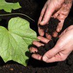Как подготовить почву для посадки огурцов