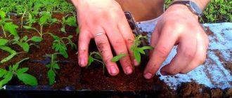 Когда пикировать рассаду помидоров