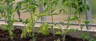 Почему падает рассада томатов: что делать, профилактика