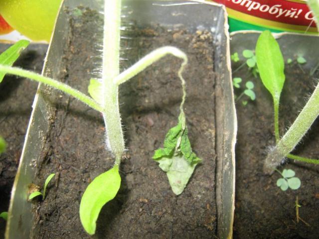 Почему у рассады помидоров опадают нижние листья: что делать
