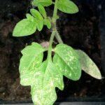 Белые пятна на листьях рассады томатов что делать