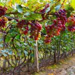 Виноград Дюжина: описание сорта