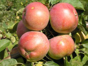 Яблоня зимняя  Белорусское сладкое: описание сорта