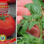 Томат Аврора: описание сорта и агротехника выращивания