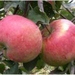 Зимостойкая яблоня Аскольда: описание сорта