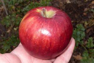 Яблоня зимняя  Беркутовское: описание сорта