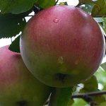 Яблоня Апрельское:  описание сорта, характеристики, посадка и уход, фото