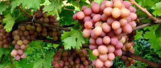 Виноград Гурзуфский розовый: описание сорта