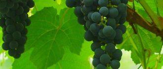 Популярные сорта винограда: описание, фото