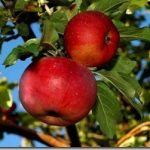 Яблоня Апорт: описание сорта, отзывы, фото