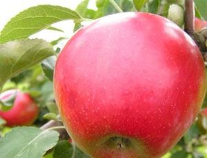 Иммунная яблоня Афродита: описание сорта