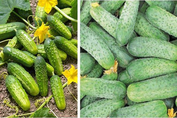 Огурцы Аякс: описание сорта, выращивание